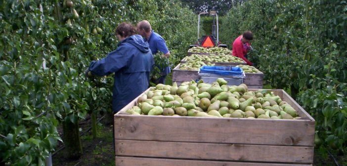 Ga mee en pluk ze: appels en peren voor kerk Harfsen!